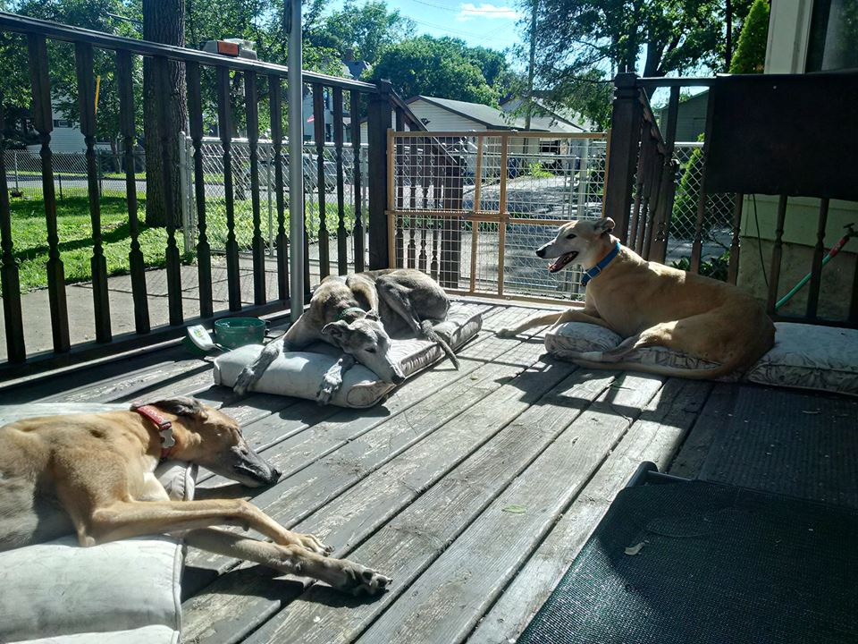 Greyhounds in Retirement.jpg